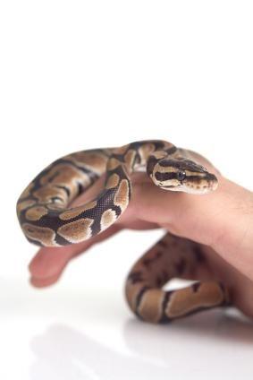 Troeteldier Ball Python