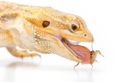 Bebaarde draak eet