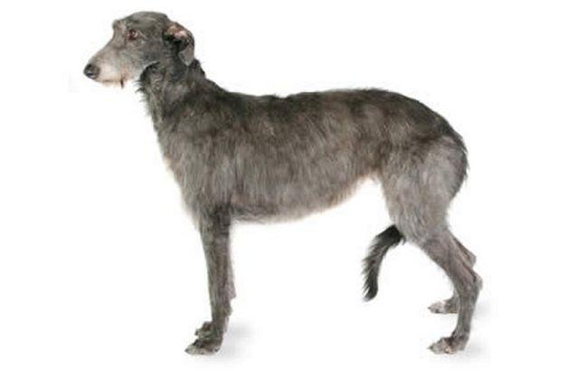 Skotse-deerhound