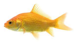 `n gemeenskaplike goudvis ras