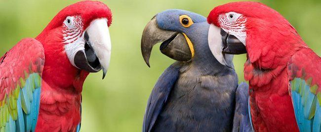 drie papegaaie saam
