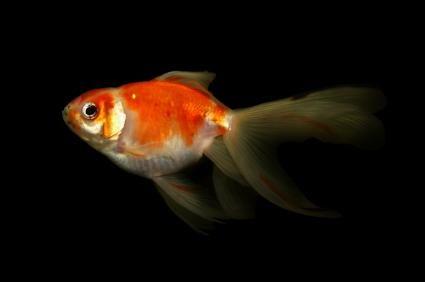 goudvis swem