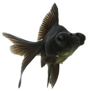 swart moor goudvis