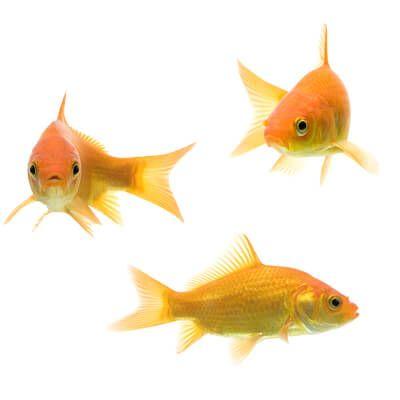 drie goudvis