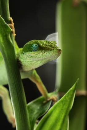 Groen anoles