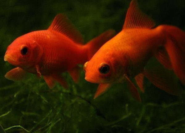 Hoe om te sorg vir `n goudvis Behoorlik