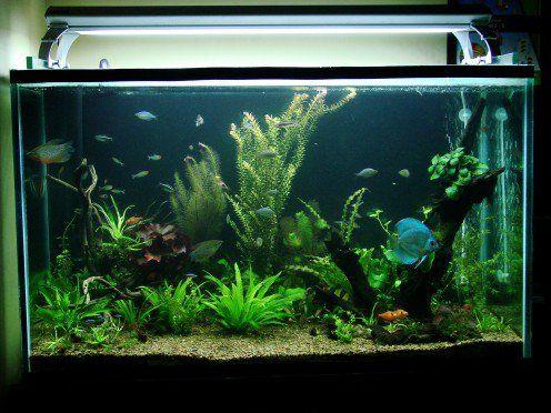 Hoe om versoenbaar vis kies vir jou gemeenskap akwarium