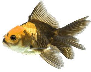 multi kleur fancy goudvis