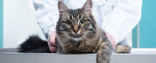 Hoe om die mees algemene kat voorwaardes identifiseer