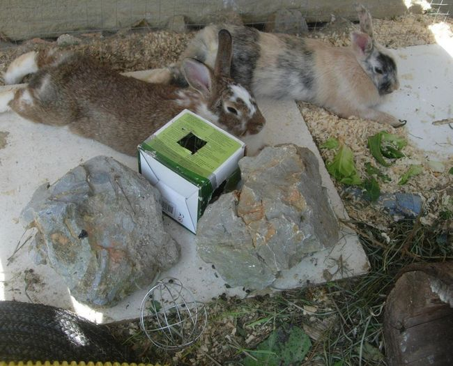 Hoe om Take Care van jou dwerg Rabbit gedurende warm weer