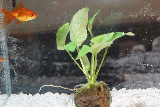 Jou goudvis kan baie goed leef sonder `n lug pomp, maar jy moet die bak of tenk skoon te hou en sluit klippies.