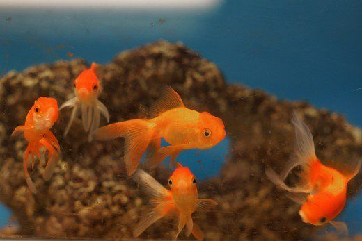 Elke vis moet `n liter water te hê, so as jy meer vis, maak seker dat jou bakkie of tenk is groot genoeg.