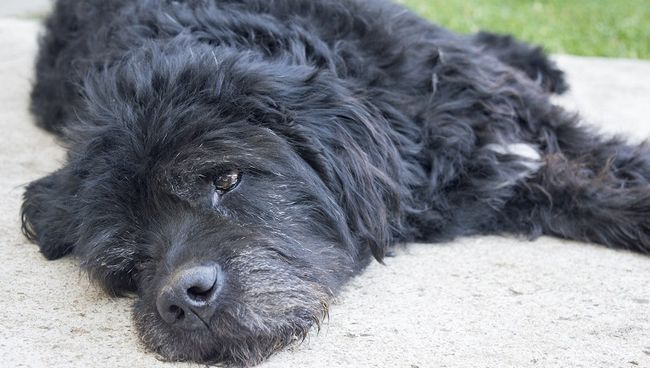 Portret van `n ou en moeg groot swart hond lê in die agterplaas