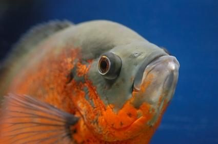 closeup van Oscar vis