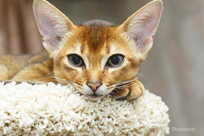 Abessiniese kat