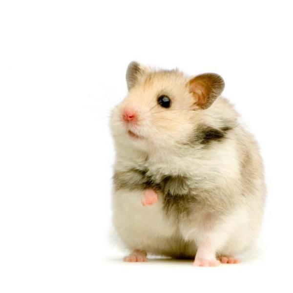 Stop jou hamster uit eet sy geslag