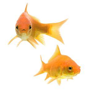 twee algemene goudvis