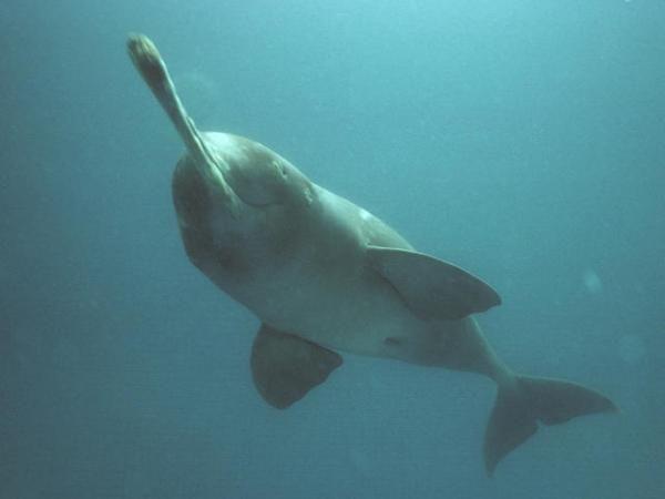 Hoekom is die Suid-Asiatiese River Dolphin Bedreigde?